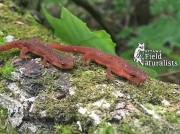 Eastern Newt (Notophthalmus viridescens viridescens), By - Salamander Man