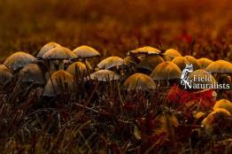 Common Ink Cap (Coprinopsis atramentaria) at Sunset, By -  Mark Fryars