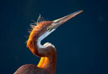 Tricolored heron juvenile in the sunlight