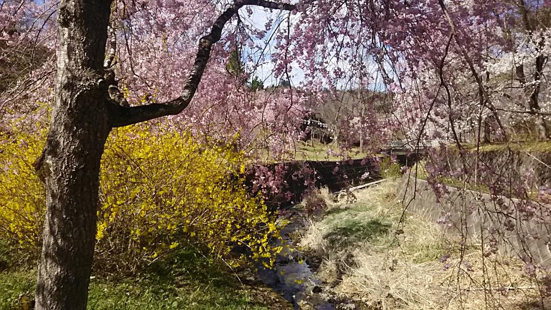 小鹿野 長留川 しだれ桜