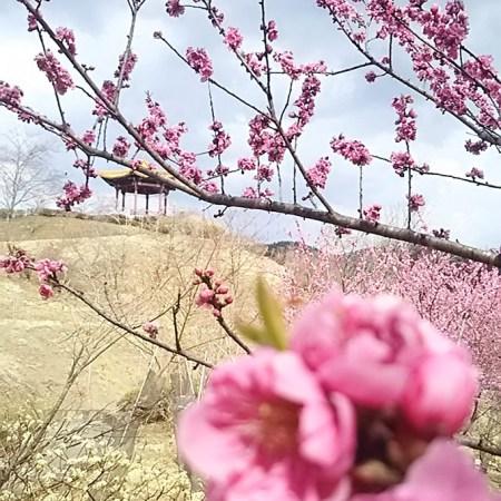 小鹿野 花 桃