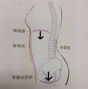 横隔膜、骨盤底筋の動きの図