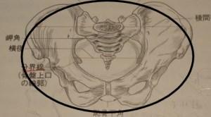 女性骨盤の図