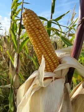 corn-60106_640
