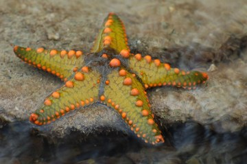 Starfish_08_(paulshaffner)