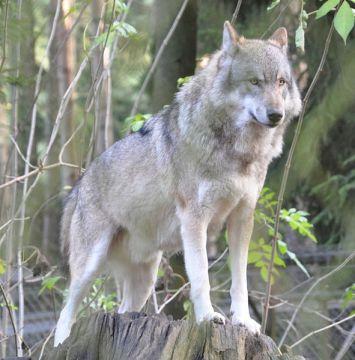 Canis_lupus_lupus_qtl1