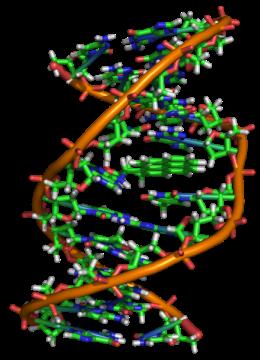 433px-Benzopyrene_DNA_adduct_1JDG