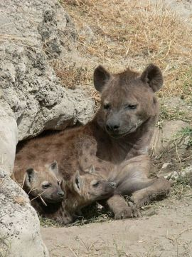 450px-Spotted_Hyena_and_young_in_Ngorogoro_crater