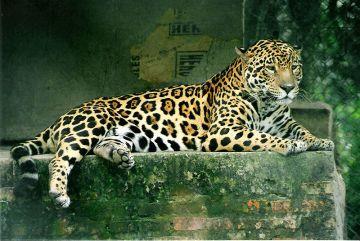 800px-Panthera_onca