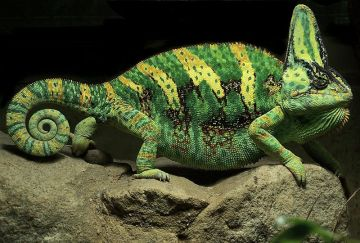 800px-Yemen_Chameleon_(cropped)