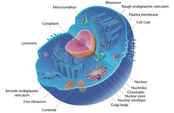 800px-Eukaryotic_Cell_(animal)