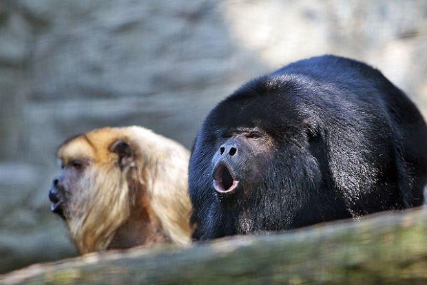 640px-Howler_monkey