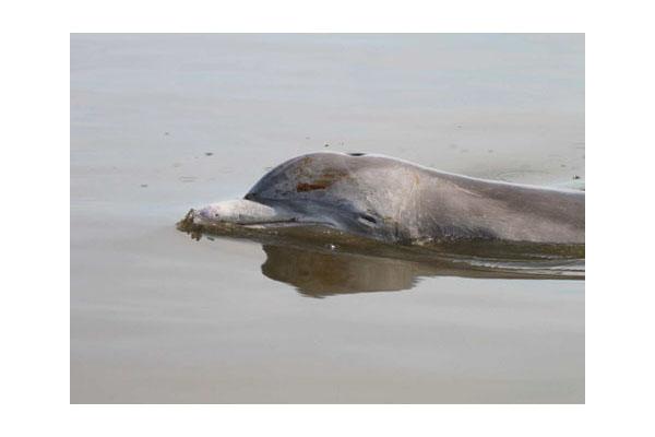 dolphin-with-oil-barataria-bay-la-aug2010_ladfw_mandy-tumlin_472