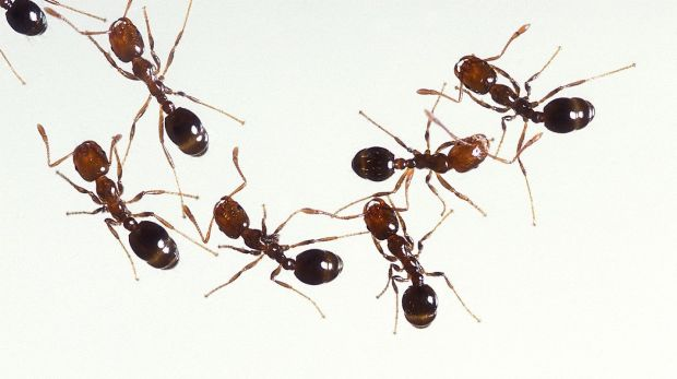800px-Fire_ants_01