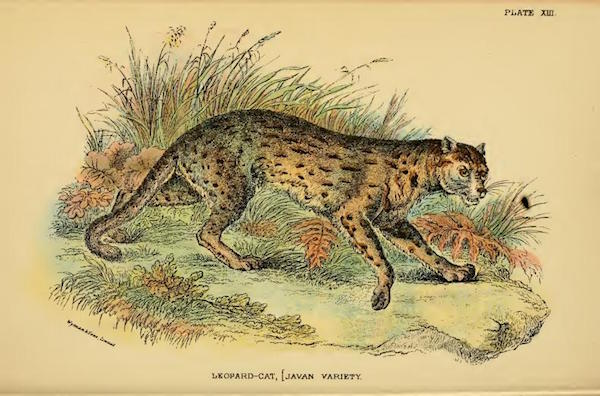 "Un gatto leopardo, sottospecie Prionailurus bengalensis javanensis. Lloyd's Natural History: ""A hand-book to the Carnivora. Part 1, Cats, civets, and mongoose"" by Richard Lydekker"