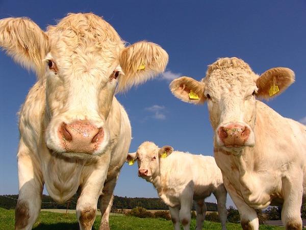 Con le mucche non si scherza: negli Stati Uniti ogni anno fanno almeno 20 vittime. Gli squali? Una. Crediti foto: Wikimedia Commons