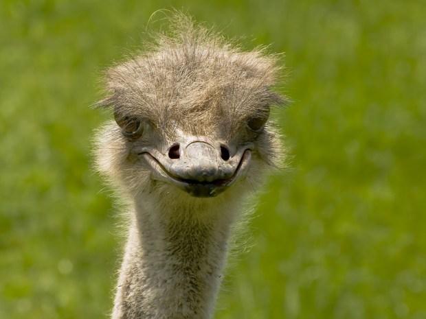ostrich-bird-649407_1280