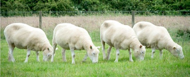nottingham-dollies-grazing-cloned-sheep_1024