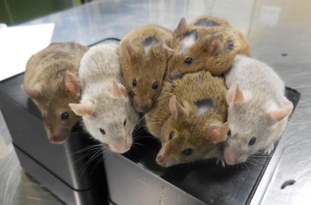 staminali topi fertilità