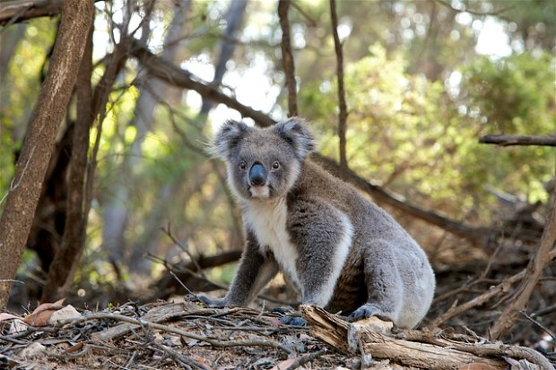 koala marsupiali cambiamento climatico