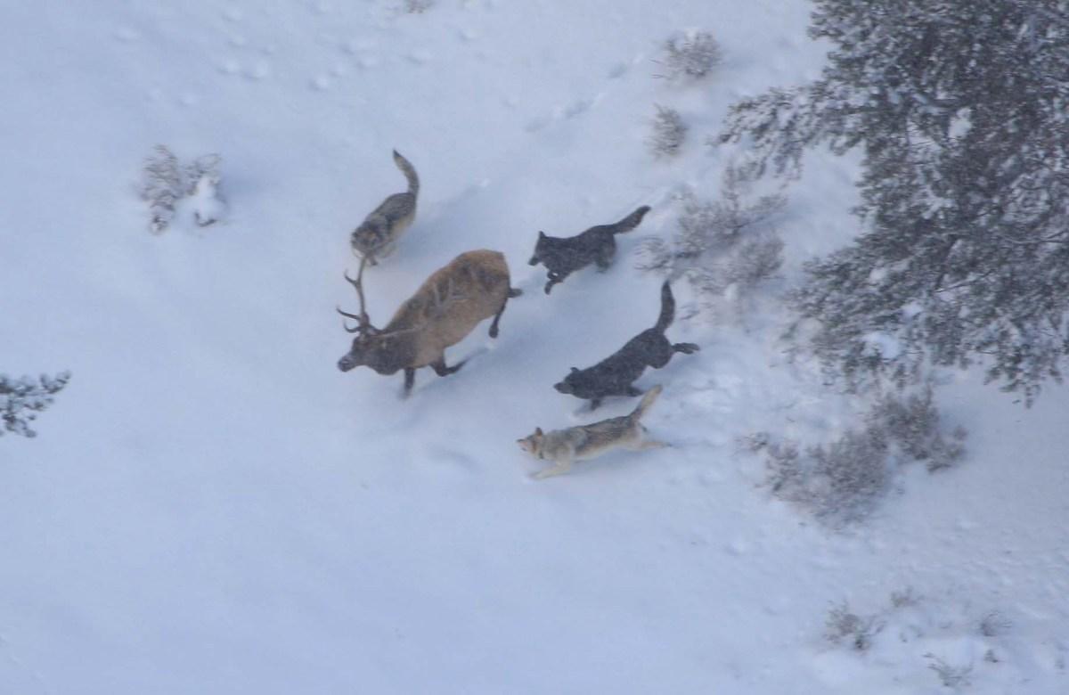 lupi attaccano cervo yellowstone