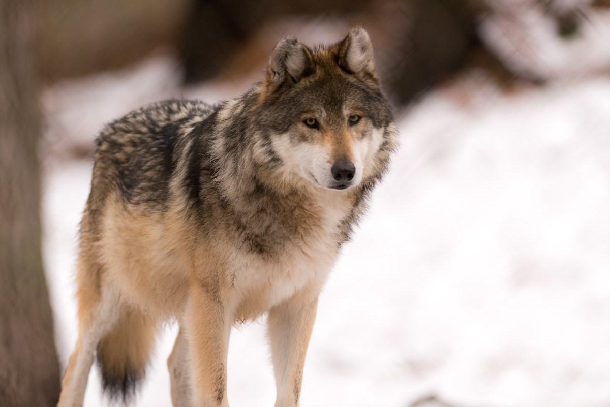 lupi chernobyl mutazioni