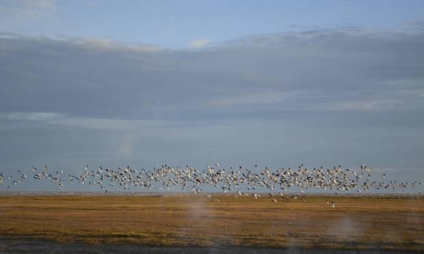Flock of geese in the Hudson Bay region Photo: Cristina Massari / O Globo