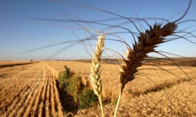 Plantação de trigo próximo à Brasília Foto: Bloomberg