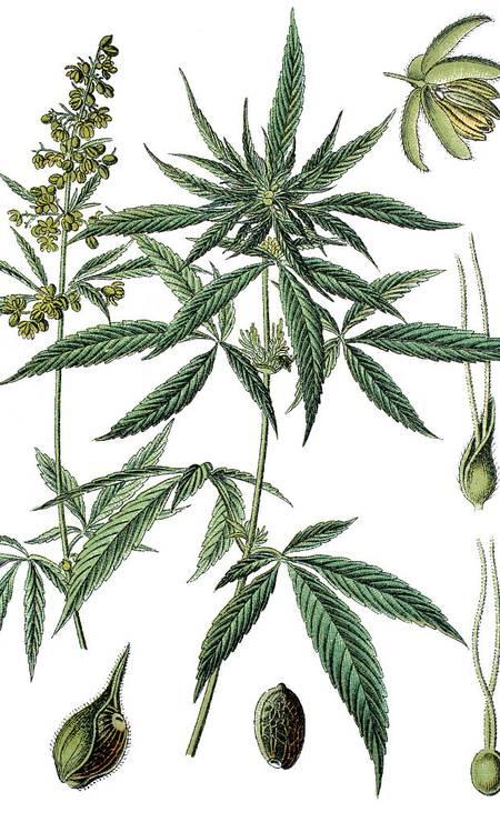 Cannabis sativa Foto: Bildagentur-online / Universal Images Group via Getty