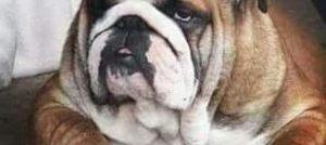 Engleski Buldog, štenci vrhunskog pedigrea