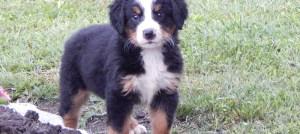 Štene bernskog planinskog psa