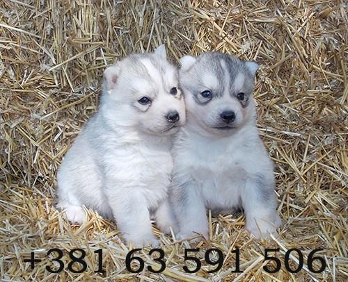 Sibirski Haski – štenci