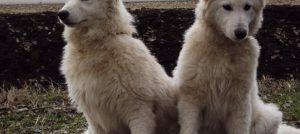 Beli švajcarski ovcari