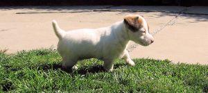 Jack Russell Terrier/Džek Rasel terijer