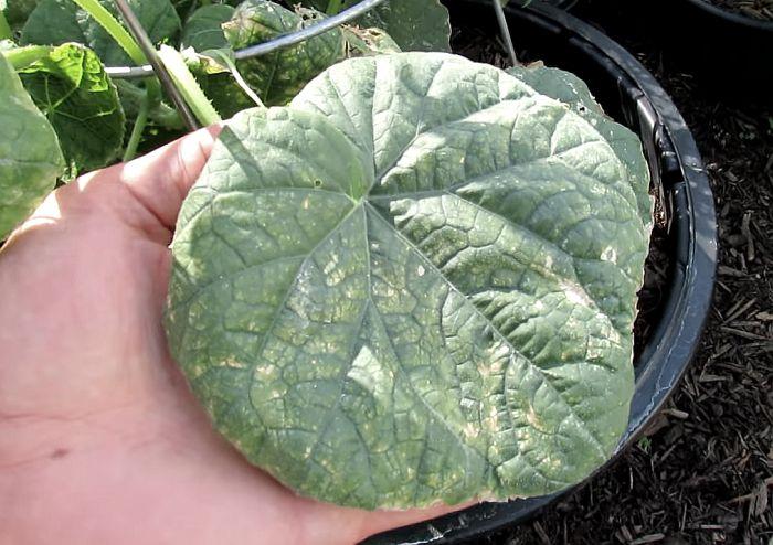 Сохнут листья у огурцов в теплице и открытом грунте, видео и фото | 494x700