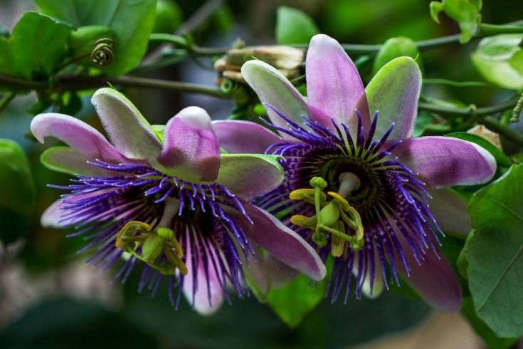 цветки пассифлоры