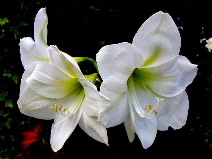 соцветие амариллиса