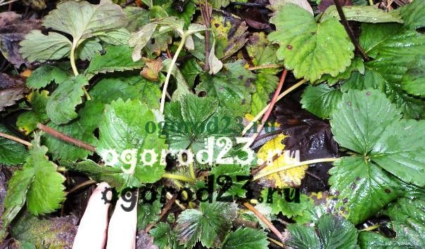 Можно ли косить клубнику триммером осенью. Когда обрезать листья клубники после сбора урожая (надо ли вообще?). Подготовка клубники к зиме