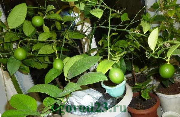 Лимон дома растение. Почему лимон сбрасывает плоды? Комнатный лимон из косточки