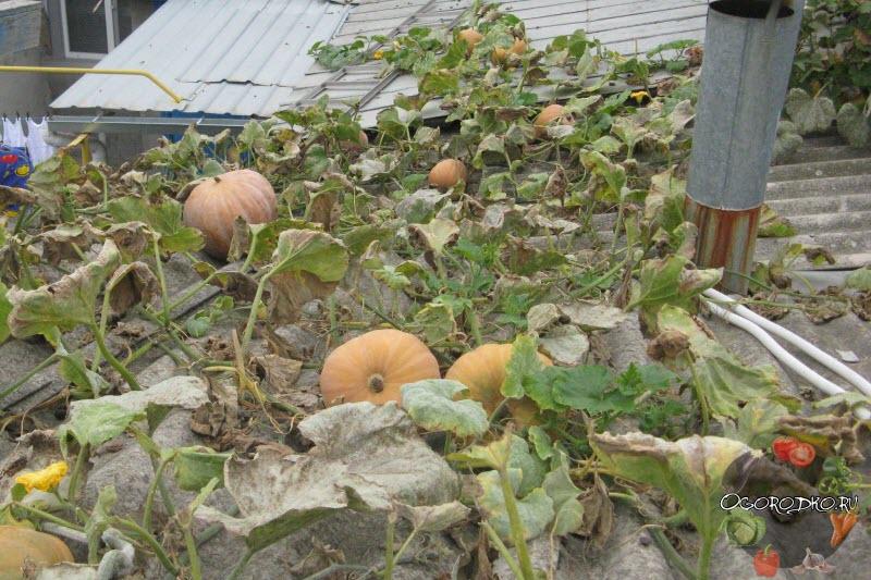 Как вырастить тыкву на балконе дома и правильно ухаживать