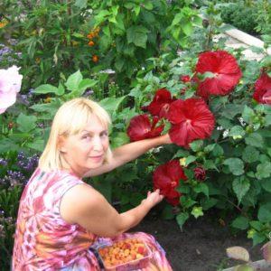 Как укрыть китайскую розу на зиму
