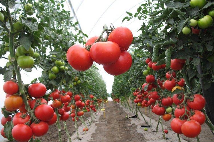 มะเขือเทศ Agrotechnology ใน Teplice