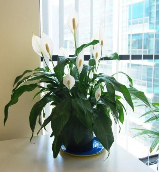 wallis spathiphyllum