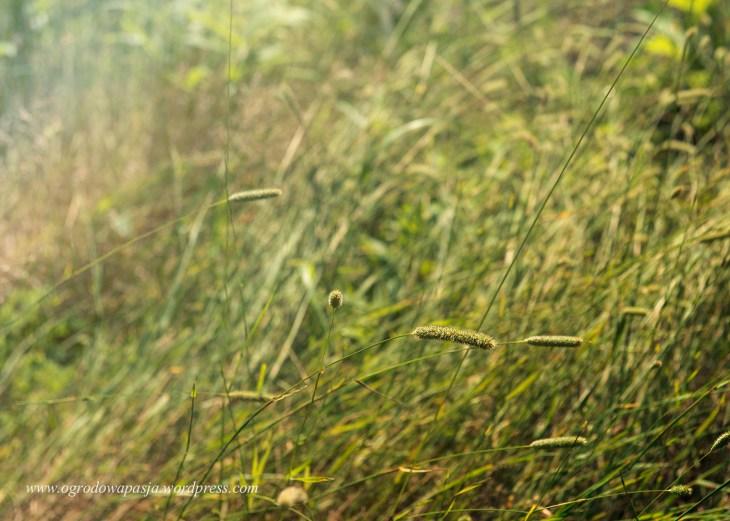 Najzwyklejsza w świecie tymotka łąkowa (Phleum pratense)