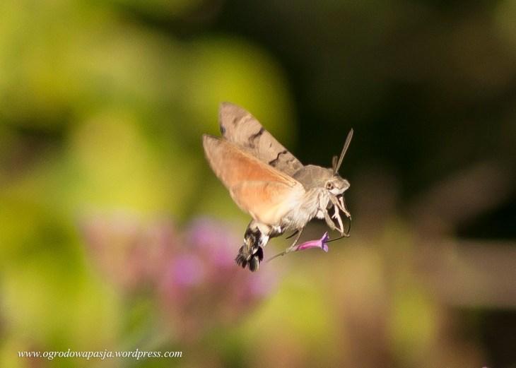 koliberek w ogrodzie