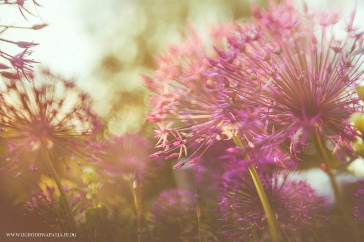 czosnek purple rain