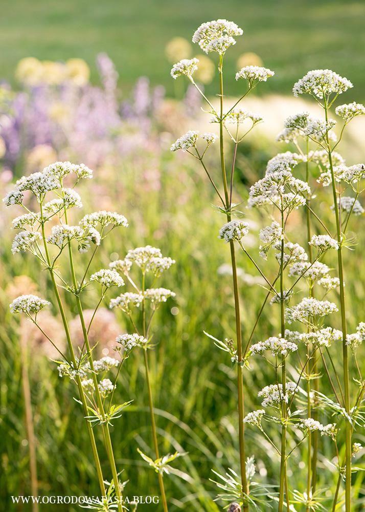 kozłek lekarski kwiat