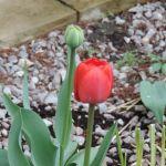 Tulipany przetrwały mrozy