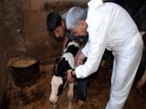 Sığırlara Küpe Takma Süresi Uzatıldı