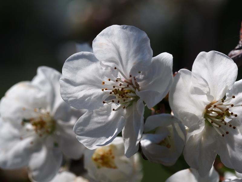 Kirschblüte Saphir